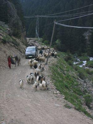 Eine Schafherde auf dem Weg ins Tal