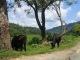 Grasende Kuehe auf dem Weg nach Pokhara