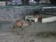 Kamele im Zoo von Bukittinggi