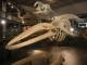 Ein Waalskelett im Nationalmuseum