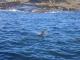 Ein Seeloewe im Wasser