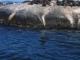 Badende Robben