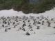 Die Pinguinkolonie Boulders in der False Bay bei Simonstown