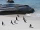 Pinguine nach einem Bad im kuehlen Ozean